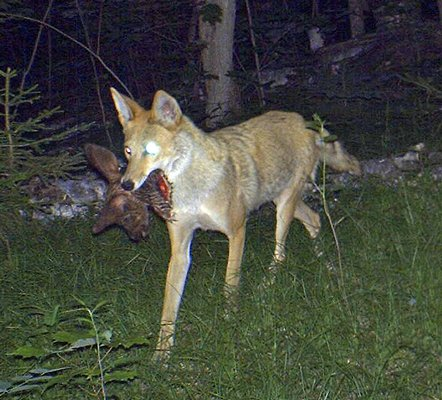 Tim Salerno captured this interesting picture this spring of a mature coyote carrying what appears to be the head of a fawn in its mouth. He got the nighttime shot using a trail camera.