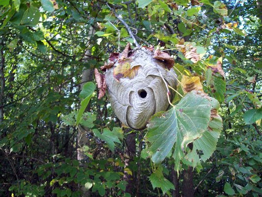 An example of a baldfaced hornet nest.