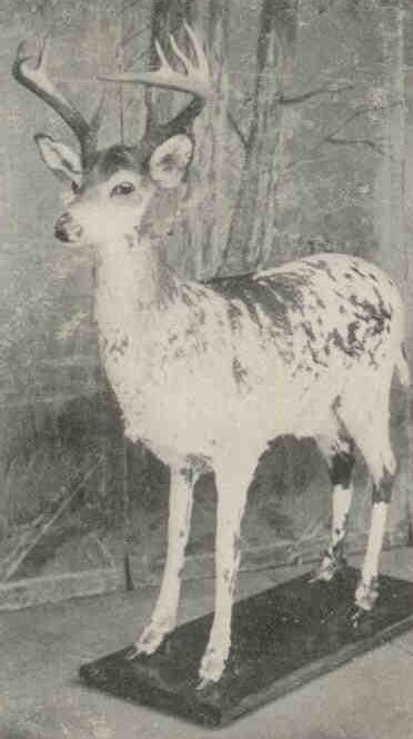 Photo of the albino deer, shot in 1907