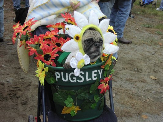 A canine competitor in a prior year's Pug Party & Parade patiently waits to have its costume judged. This year's edition of the fest is set for Sunday Oct. 16.