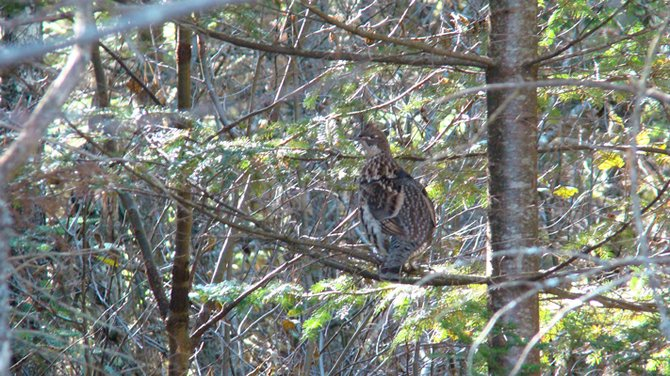 The natural camouflage of a female Spruce Grouse allow it to virtually disappear among the branches of a small spruce tree.