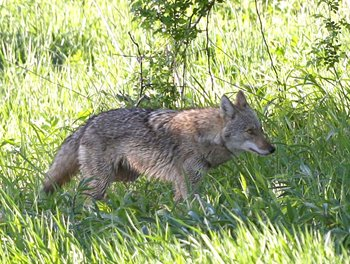The town of Salina is considering loosening its regulations pertaining to the use of firearms so that residents in the Scottsdale Farms tract could hire a trapper to dispose of coyotes spotted in the neighborhood.