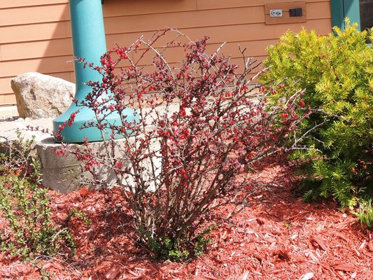 Japanese barberry.