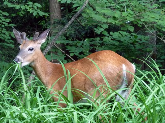 A young buck sporting a velvet rack happily munches on some summer greenery.