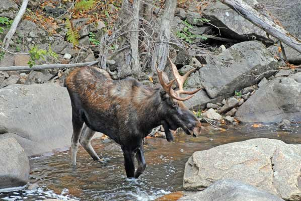 This nice bull moose was recently discovered feeding along the banks of the Ausable River, in the late afternoon. Moose are currently paired as they approach the peak of their annual breeding. Both moose and moose calls have become a rather common occurrence across the Adirondacks in recent years.
