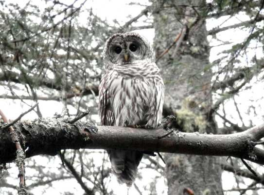 Joe Hackett came across this large barred owl during a recent fishing trip north of Lake Clear. The bird posed just long enough for some great photos.