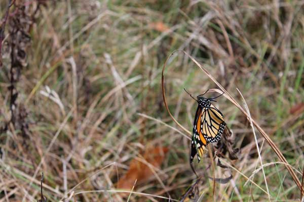 A monarch butterfly, one of the last bastions of summer, clings to a milkweed at Point au Roche.