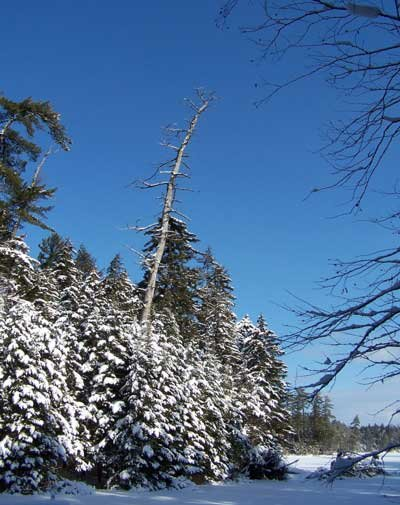 A barren, white pine stands in stark contrast to the surrounding whitewashed forest, along  the shoreline of an Adirondack Pond.