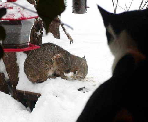 A house cat peers out the window, as a bobcat cleans up scraps around the bird feeder.