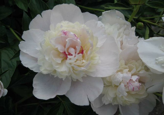 A Baldwinsville heritage peony is pictured in full bloom.