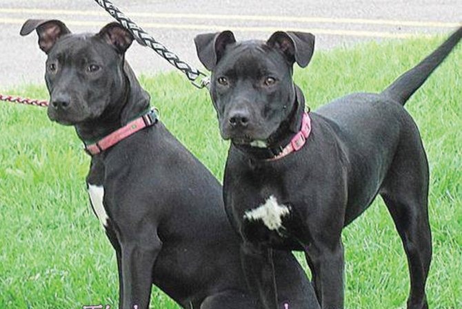 Do Female Pitbulls Get Along With Other Dogs