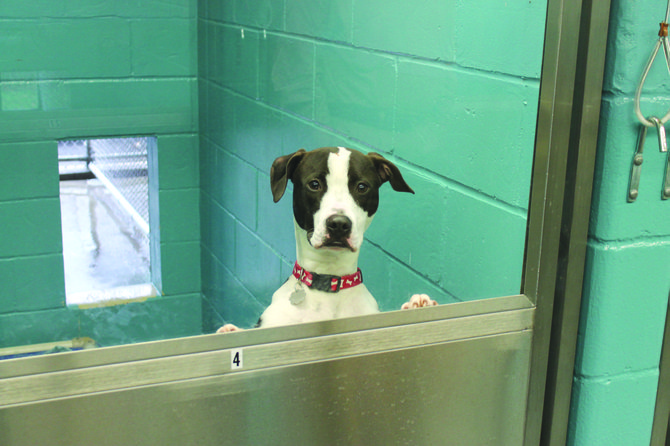 This would-be adoptee at the Central New York SPCA peeks out of one of the new kennels, which the shelter hopes to construct throughout the building for all of its dogs.