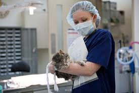 A volunteer veterinarian provides care to a cat. The Animal Alliance of Greater Syracuse is hoping to build a clinic where similar volunteers can conduct high-volume spay/neuter surgeries in order to reduce the number of homeless animals, many of whom must be euthanized.