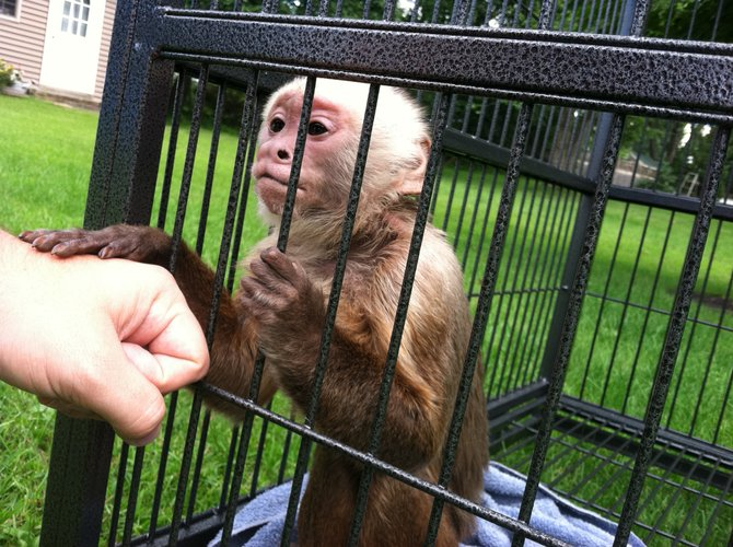 Kong, a 6-pound capuchin monkey, has been missing from his owner's Delmar home since Monday evening, Aug. 22.