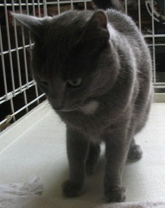 This female kitten was found in Guilderland near SUNY Albany just before Tropical Storm Irene swept through the area. She's gray with white hair on her chest, about one year old and is spayed. Call 334-3195 with any information.