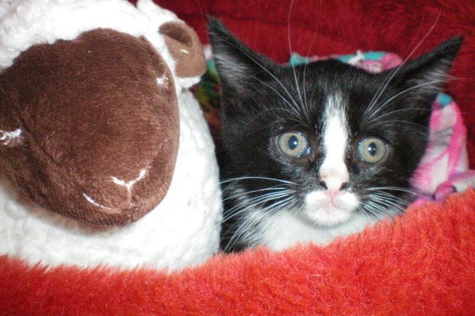 This kitten was found in the midst of Tropical Storm Irene and turned over to the Scotia Animal Protective Foundation, which was able to reunite the pet with its owners. Some animal shelters were adversely impacted by the storm, and all are weathering a poor economy.