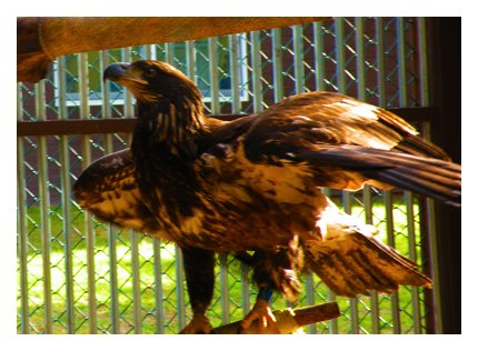 A juvenile bald eagle shot multiple times in Columbia County has been released after more than two months of recovery at The Animal Hospital in Slingerlands. (photo courtesy of The Animal Hospital)