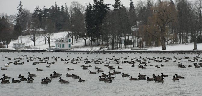 A gaggle of Canada Geese along the West Lake Street side of the lake