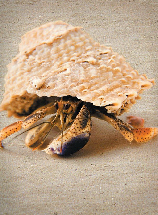 Hermit crabs make great starter pets for children.