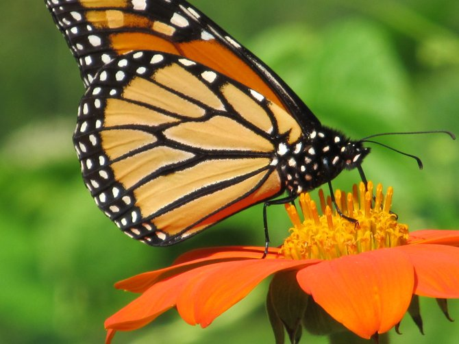 A Monarch butterfly lands on a flower before it is to be cut and included in an arrangement to be sold at an upcounty Farmers Market. A newly-oirganized producers market is planned for Wednesdays this summer in Chestertown, and plans call for fine crafts, floral arrangements and gourmet natural foods all to be included in the items for sale.
