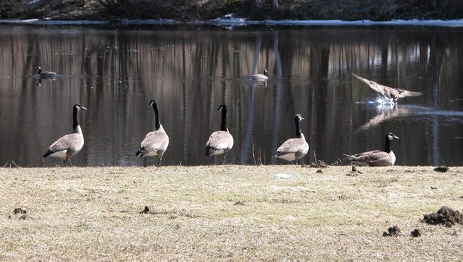 Canada geese are attracted to this pond and the grounds at the Saranac Lake High School. Officials have been trying to find inexpensive and humane ways to get rid of the geese, which leave an abundance of excrement on the athletic fields.