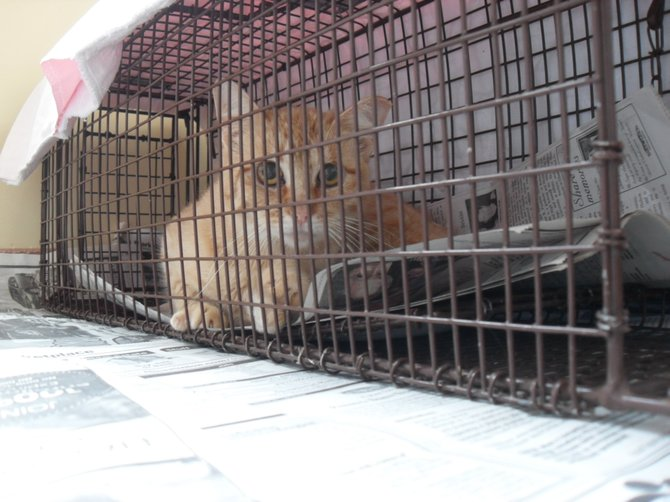 """Have a heart"" traps are used to capture feral cats so they can be spayed or neutered by Scruff."