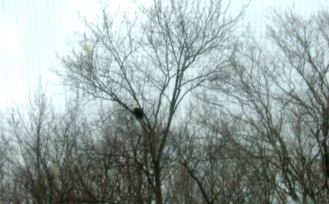 A bald eagle, that had been spotted last year, was recently seen in Cazenovia. A Cazenovia Preservation Foundation supporter was able to snap this photograph of the national bird as it rested in a tree at the Atwell's Knoll area of the Burlingame Road trail system.