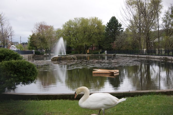 The village has started to install a floating nesting platform after the attack on the swan eggs this weekend.