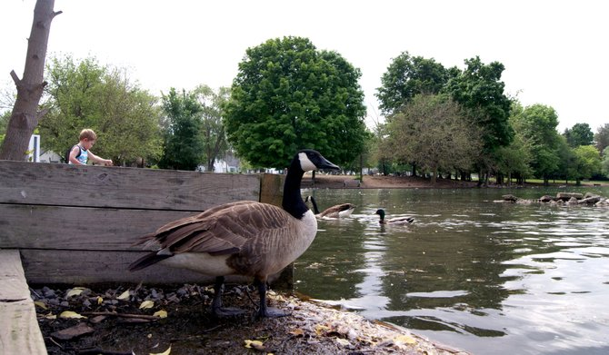 Geese, ducks and birds gather in gaggles at Webster Duck Pond.