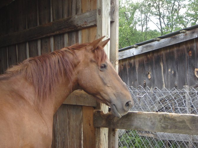 Little Guy, a therapy horse at EquAbility - seeming to reflect on his work. Photo Submitted.