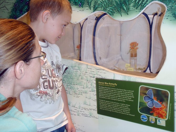 Visitors to the Pine Bush Discovery Center can get a good look at Karner blue butterflies that were raised in captivity.