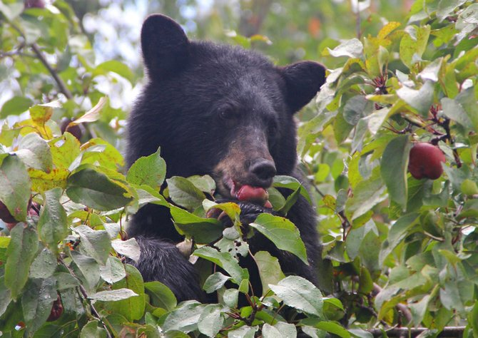 This 90-pound yearling black bear in downtown Long Lake was shot and killed by the New York State Department of Environmental Conservation because it was being a nuisance and getting too close to humans because people were feeding it.