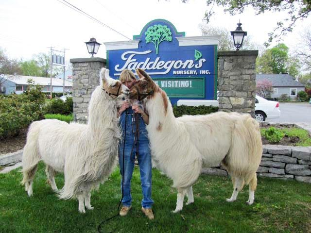 Teri Conroy and her llamas will be at Faddegon's Nursery in Latham on Saturday, Oct. 13. The public is welcome to take walks with the llamas.