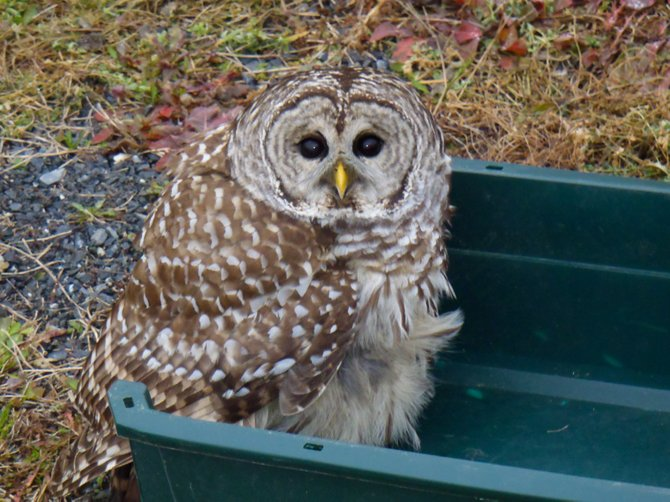 """I received a call from the driver a little after five in the morning explaining that he had hit an owl,"" said Vermont biologist David Sausville. ""He said that the owl was still alive and was lodged in his truck."""