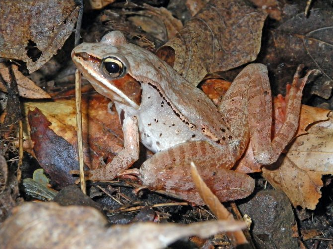 The wood frog is recognized by its brown color and distinctive raccoon-like dark mask around the eyes.