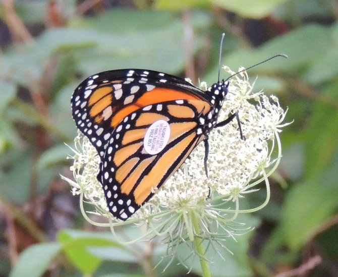 A Monarch butterfly raised by students at Guilderland's Farnsworth Middle School ad part of the Butterfly House program.