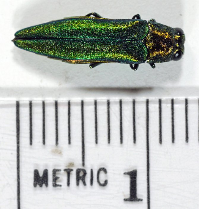 The emerald ash borer was first discovered in Albany County in October of 2011. The invasive species can kill ash trees and if found the DEC should be notified by calling 1-866-640-0652.