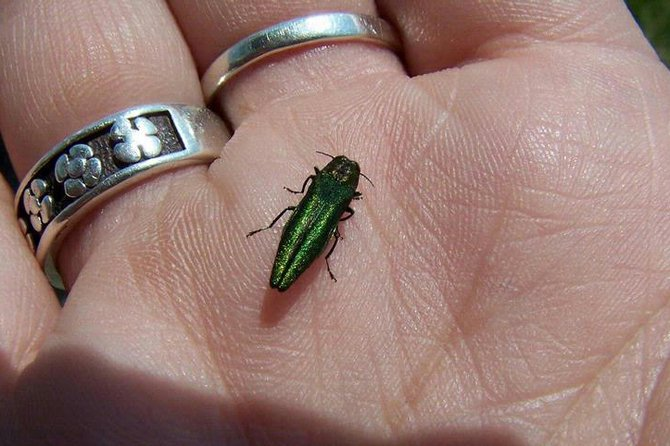 An emerald ash borer rests on a person's hand.
