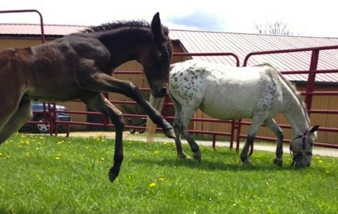 CHANCE TAKES FLIGHT! Chance, at left, the first foal born at Skanda Equine, the progeny of wild ponies rescued from the ONondaga Reservation, frolics around in the sunshine.