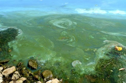 This photo from the DEC information website, shows that blue-green harmful algae blooms may look like blue, green or white spilled paint on the water surface.