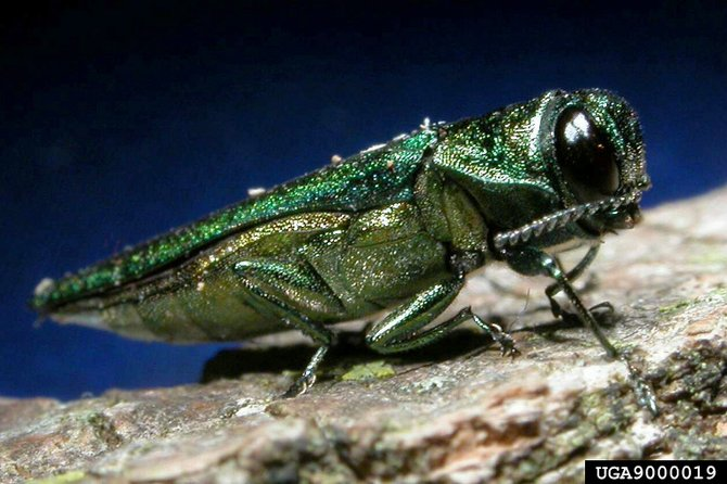 An emerald ash borer. These beetles have infested and killed millions of ash trees in the northern U.S.