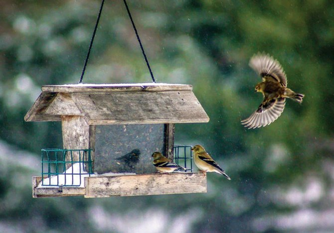Proper maintenance of bird feeders can help prevent disease transmission, particularly in these late winter months when songbirds are especially vulnerable.