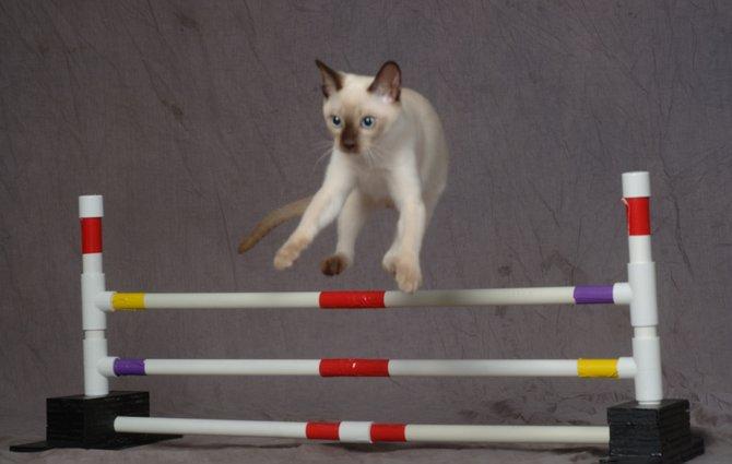 Photo courtesy of the Cat Fanciers Association