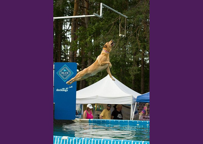 "A dog entered in a dog diving competition sponsored by the Hudson Valley Dock Dogs leaps to catch a lure before plunging into a pool during an event at Adirondack Woof Stock 2015 in Chestertown this weekend. The festival, billed as ""a weekend of peace, paws and music,"" drew an estimated 2,500 or more to town for canine activities and a celebration of 1960s culture and music. Photo by Brandon Himoff"