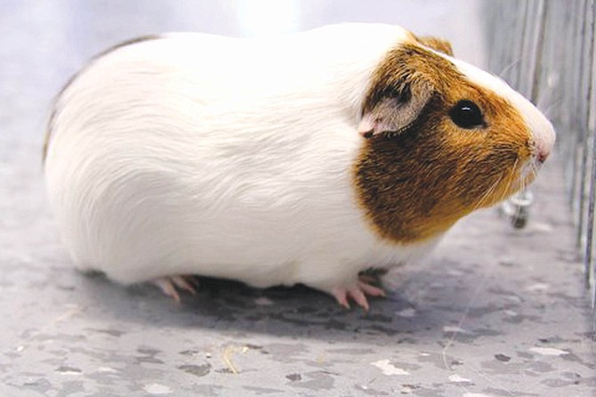 Dodger is a 2-year-old male guinea pig who was surrendered because his owner had too many animals. Call the shelter at 454-4479 to learn more or check out our website at CNYSPCA.org.